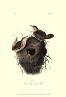 """Short-billed Marsh Wren by John James Audubon - 13"""" x 19"""""""