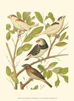 Canaries & Cage Birds II Fine Art Print