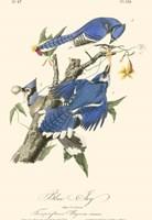 Audubon Blue Jays Fine Art Print