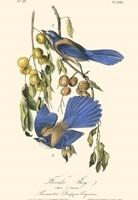 Audubon Florida Jays Fine Art Print
