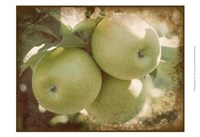 Vintage Apples III Fine Art Print