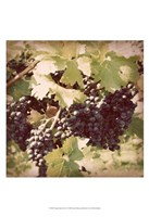 Vintage Grape Vines II Fine Art Print