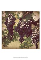 Vintage Grape Vines III Fine Art Print