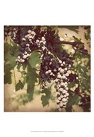 Vintage Grape Vines IV Fine Art Print