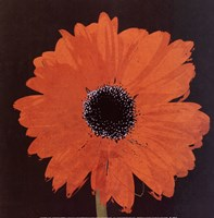 Midnight Gerbera I Framed Print