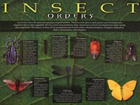 Insect Orders Wall Poster