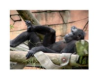 Chimp - Just relaxing Fine Art Print