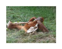 Orangutan - Stretchin out Fine Art Print