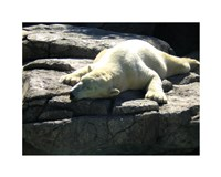 "20"" x 16"" Polar Bear"