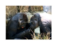 Gorillas - Look what I found! Fine Art Print