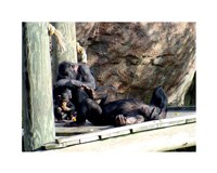 Chimps - Just Chillin Fine Art Print