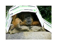 Orangutan - Give me shelter Fine Art Print