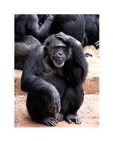 """8"""" x 10"""" Monkeys Apes"""