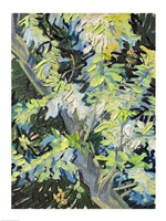 Acacia in Flowe Fine Art Print