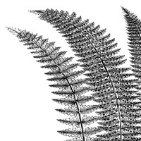 Fern I (on white) Fine Art Print