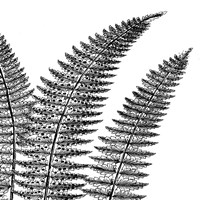 Fern II (on white) Fine Art Print