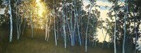 Hillside Birches Fine Art Print