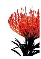 Orange Protea 1 Fine Art Print