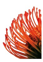 Orange Protea 4 Fine Art Print