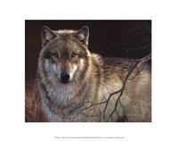 Uninterrupted Stare Gray Wolf