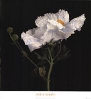 """Matilija Poppy II by Sondra Wampler - 24"""" x 26"""" - $23.99"""