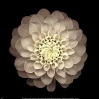 "Dahlia 22 by Neilseth Levine - 12"" x 12"""