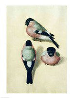 Three studies of a bullfinch Fine Art Print