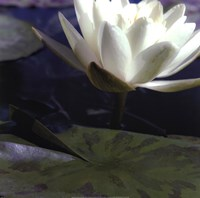 Water Lillies II Fine Art Print
