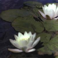 Water Lillies I Fine Art Print