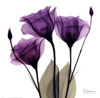 X Ray Royal Purple Gentian Fine Art Print