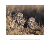 Two Burrowing Owls - various sizes