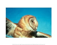 Barn Owl In Flight - various sizes