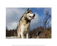 Alaskan Malamute Dog Fine Art Print