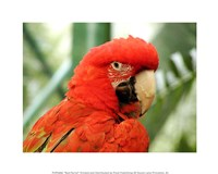 Red Parrot - various sizes, FulcrumGallery.com brand