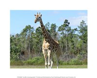 "10"" x 8"" Giraffe Pictures"