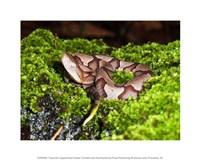 Juvenile Copperhead Snake Fine Art Print