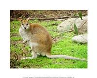 Kangaroo Outdoors - various sizes, FulcrumGallery.com brand