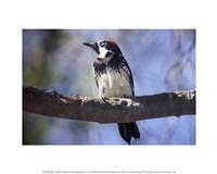 Male Acorn Woodpecker - various sizes, FulcrumGallery.com brand