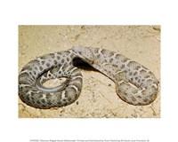 Mexican Ridged Nose Rattlesnake - various sizes - $12.99