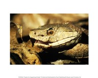Head of a Copperhead Snake - various sizes