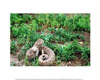 Western Diamondback Rattlesnake - various sizes
