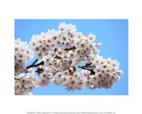 Cherry Blossoms - various sizes, FulcrumGallery.com brand