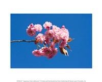 Japanese Cherry Blossom - various sizes - $12.99