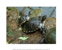 Three Turtles Fine Art Print