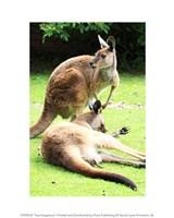 Two Kangaroos Fine Art Print