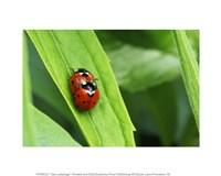 Two Ladybugs - various sizes