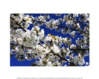 White Cherry Blossom Branches - various sizes