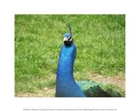 Peacock Closeup of Head - various sizes