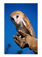Barn Owl on Hand - various sizes, FulcrumGallery.com brand