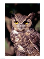 Horned Owl - various sizes